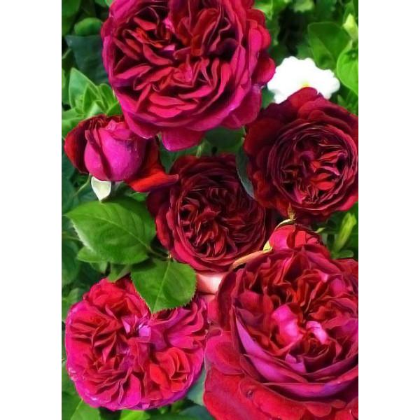 Роза английская Фальстаф