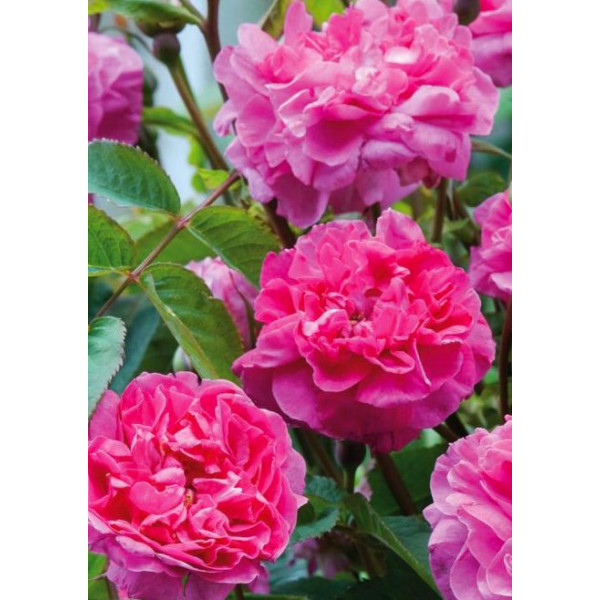 Роза английская Боскобель