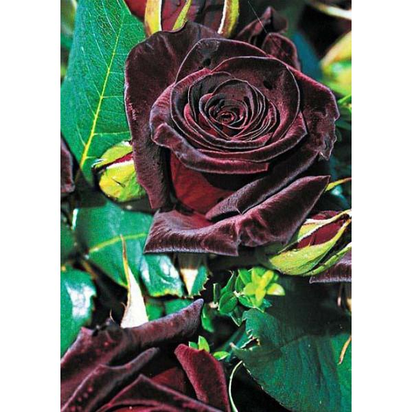 Роза чайно-гибридная Блек баккара