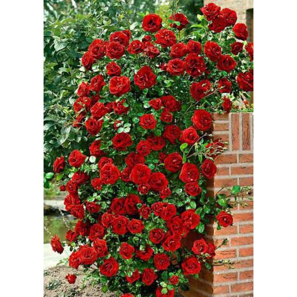 Роза плетистая Дон Жуан