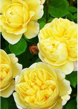 Роза английская Чарльз Дарвин